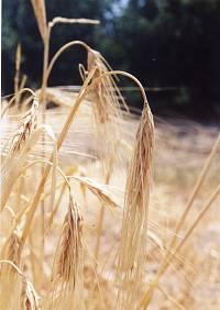 تصویر مزارع زراعی