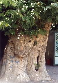 تصویر درخت چنار واقع در مسجد جامع که قدمت 800ساله دارد